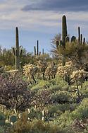 Cacti in southern Arizona