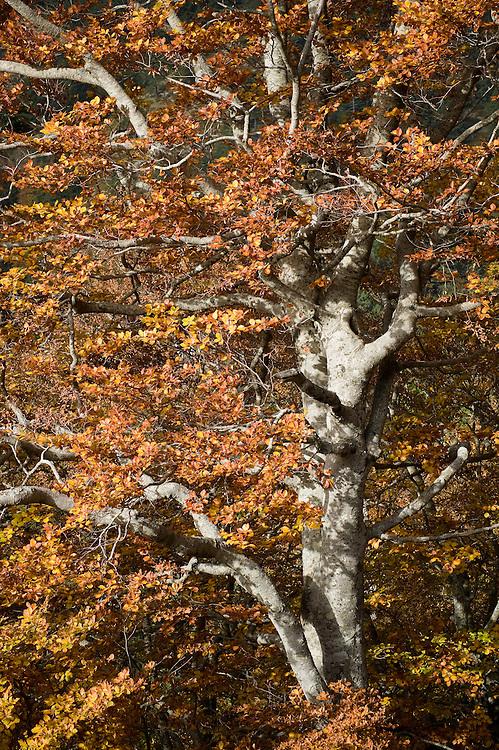 Greece, Pindos Mountains, Pindos NP, Valia Calda, Beech trees in autumn colors in Valia Calda