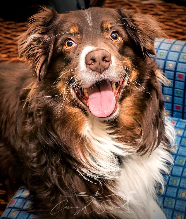 Cowboy, a six-year-old Australian Shepherd, plays in a hotel room in Atlanta, Georgia, May 20, 2014. (Photo by Carmen K. Sisson/Cloudybright)