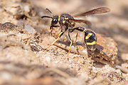 Heath potter wasp (Eumenes coarctatus) quarrying a ball of clay for nest construction. Dorset, UK.