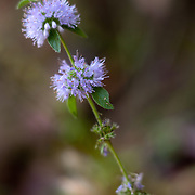 California Waterleaf