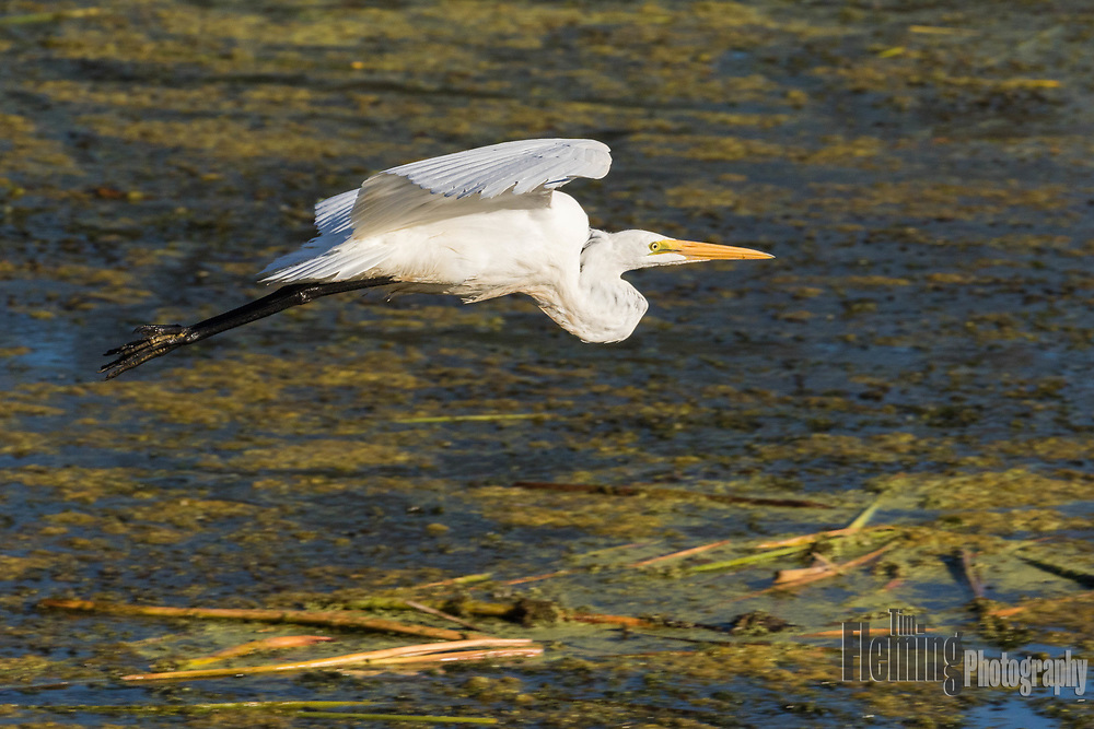 Great egret flying in the Ellis Creek Water Recycling Facility, Petaluma, California.