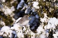 01569-01511 Dark-eyed Junco (Junco hyemalis) in Juniper tree (Juniperus chinensis 'Keteleeri') in winter, Marion Co., IL