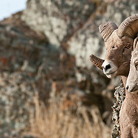 bighorn rams holding ewe in rocks rutting sheep wild rocky mountain big horn sheep