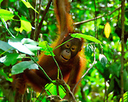 A young male Orangutan builds strength as it plays using vines to navigate through its Bornean jungle home. The Orangutan (Pongo pygmaeus) is an arboreal ape native to Borneo and Sumatra.  Its conservation status is listed as Endangered by the IUCN.