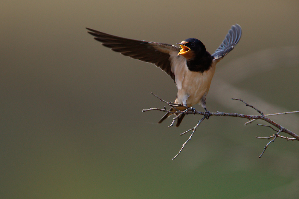 Barn Swallow calling for food, Bagerova Steppe, Kerch Peninsula, Crimea, Ukraine