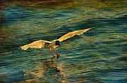 Franklin's Gull landing on water