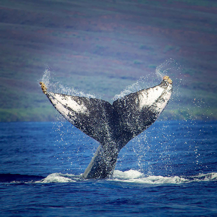A humpback Whale of the Coast of Maui, Hawaii.