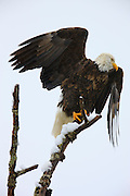 A bald eagle (Haliaeetus leucocephalus) takes off from its snow-covered perch along the Skagit River in Washington state. Several hundred eagles spend the winter along that river, feasting on spawned out salmon.