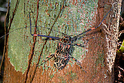 Harlequin Beetle, Guyana