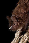 An evening bat (Nycticeius humeralis) perching at night. Central Texas.