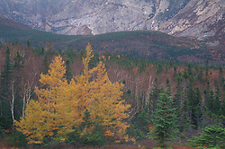 Chimney Pond Trail, Baxter S.P., ME.Eastern Larch trees larix laricina, in fall.  Near Basin Ponds.