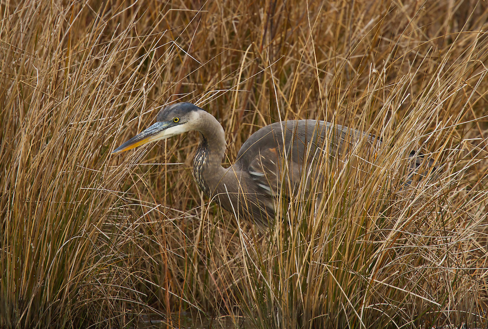 Immature Great Blue Heron hiding in the tall grass.