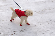 A fashionable dog in the snow in Central Park.