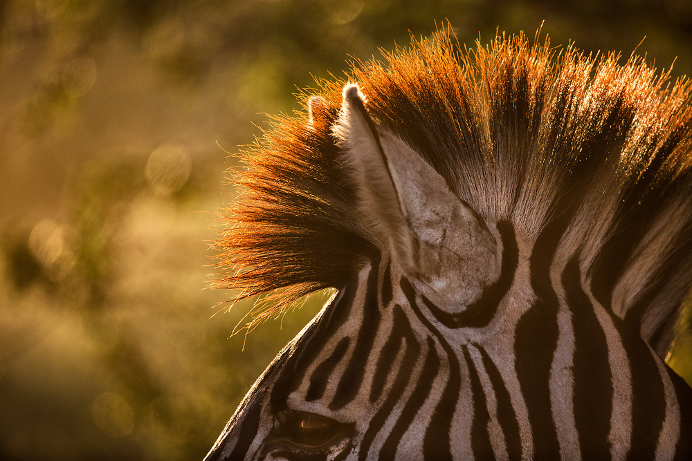 Zebra mane in morning light.  Kruger National Park, South Africa