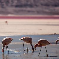 Flamingos flight in the world's largest salt flat, Salar de Uyuni in Bolivia. Photographer: Bernardo De Niz