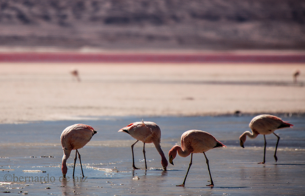 Flamingos flight in the world's largest salt flat, Salar de Uyuni in Bolivia. Photographer: Bernardo De Niz