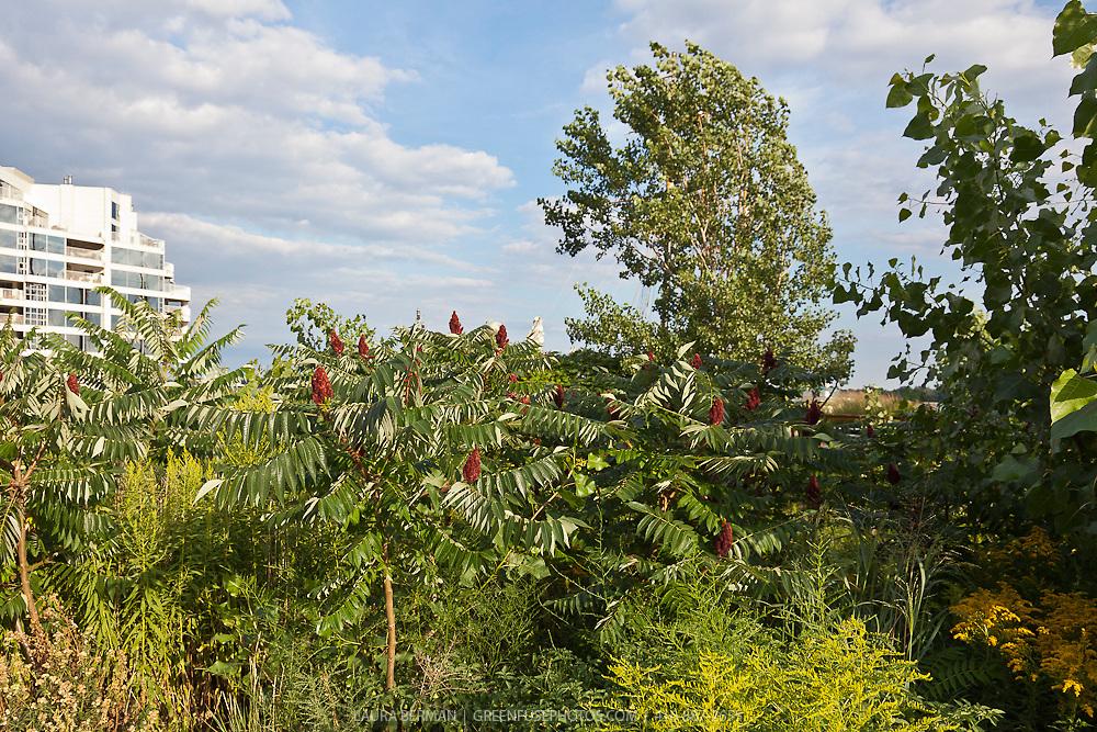 Staghorn sumac (Rhus typhina).