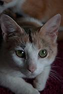 Domestic short hair cat at Chemung County SPCA