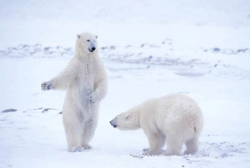 Polar Bear, (Ursus maritimus) Wrestling. Churchill, Manitoba. Canada.