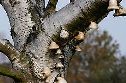 Berkenzwam, Piptoporus betulinus