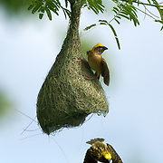 The Baya Weaver (Ploceus philippinus) is a weaverbird found across South and Southeast Asia.