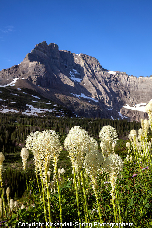 MT00116-00...MONTANA - Common beargrass (Xerophyllum tenax) along the Iceberg Lake Trail.