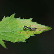 Asian Ant Mantis (Odontomantis planiceps). In its nymph stages this small mantis mimics and feeds on ants.