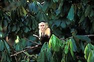 """El mono carablanca, maicero cariblanco, capuchino, tanque, machín, caurara o carita blanca1 (Cebus capucinus) es un mono del nuevo mundo de tamaño medio perteneciente a la familia Cebidae.<br /> <br /> Es nativo de los bosques de América Central y de la parte más noroccidental de Sudamérica y muy valioso por su papel como dispersador de semillas y polen. En los últimos años se ha convertido en una especie muy popular en Norteamérica.<br /> <br /> Es un mono de tamaño mediano, que alcanza en peso hasta 3.9 kg (1500 - 4000 g). Son casi completamente negros, pero tienen cara rosada y pelo blanco en gran parte del frente de su cuerpo, por eso se les llama comúnmente """"cariblancos"""".<br /> <br /> En su hábitat natural es muy versátil, adaptándose a varios tipos de bosques y consumiendo muchos tipos de comida que incluyen frutas, diferentes vegetales, invertebrados y pequeños vertebrados. Viven en grupos que incluyen machos y hembras y que pueden exceder los 20 individuos. Se ha documentado que esta especie es capaz de recurrir a la creación y uso de herramientas como armas o instrumentos para obtener comida.<br /> <br /> En Panama se pueden encontrar ocho diferentes especies de primates, de los cuales varios son considerados endémicos.<br />  ©Alejandro Balaguer/ Fundacion Albatros Media"""