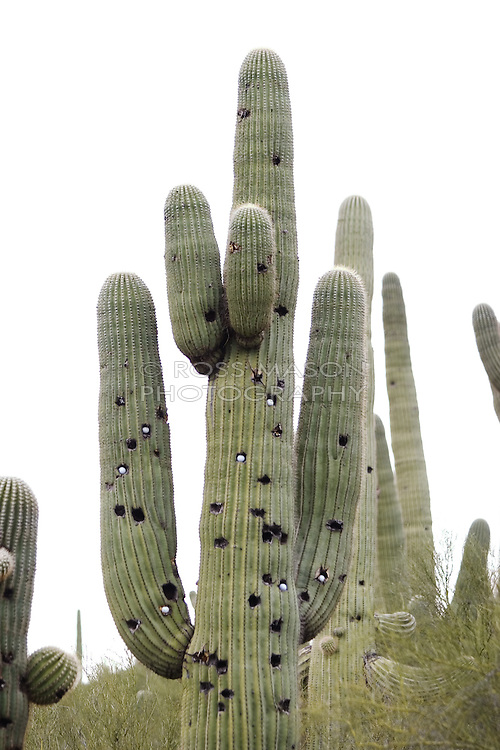 Cactus of the Sonoran Desert in the Phoenix,AZ area.