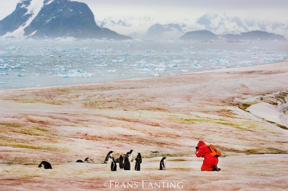Tourist photographing gentoo penguins, Petermann Island, Antarctica
