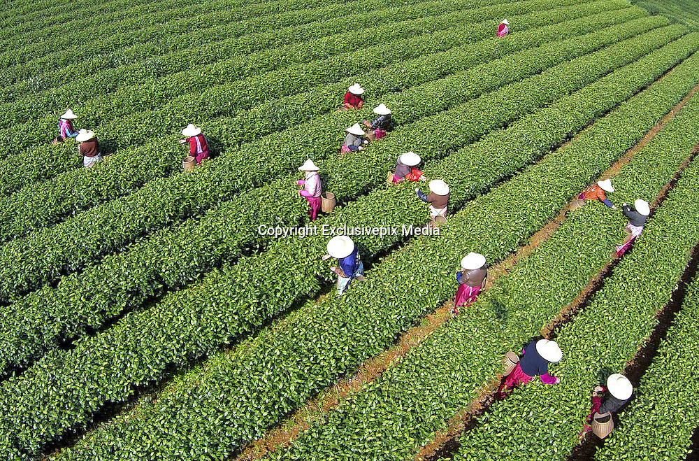 HANGZHOU, CHINA - MARCH 24: (CHINA OUT)<br /> <br /> Aerial Photos Of Tea Plucking Workers <br /> <br />  Aerial photos of tea plucking workers working at a tea garden taken by an unmanned aerial machine are seen on March 24, 2015 in Hangzhou, Zhejiang province of China. More than 90 tea plucking workers was busy harvesting tea leaves before Tomb-sweeping Day in Hangzhou on Tuesday<br /> ©Exclusivepix Media
