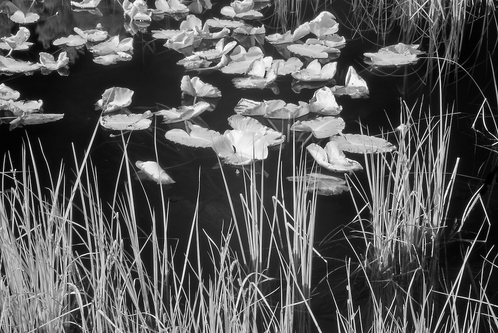 Lilies at Siesta Pond, Yosemite, CA