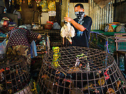 "12 JANUARY 2016 - BANGKOK, THAILAND: A worker sorts live chickens in the live poultry section of Khlong Toey Market (also spelled Khlong Toei) in Bangkok. On Monday the Thai Ministry of Public Health instructed government agencies to watch for any signs of ""bird flu"" during the winter season, and warned the public to avoid contact with any birds that appear sickly. The latest data from the World Health Organization showed the continuous transmission of avian flu in various countries, both in people and birds. Bird Flu is endemic in China, Vietnam and Indonesia, all important Thai trading partners. There have been no recorded outbreaks of Bird Flu in humans in Thailand several years.       PHOTO BY JACK KURTZ"