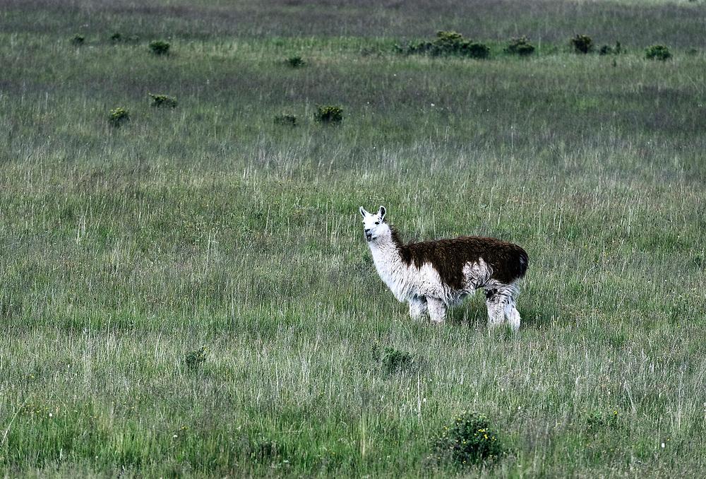 Portrait of a llama, Colorado, USA.