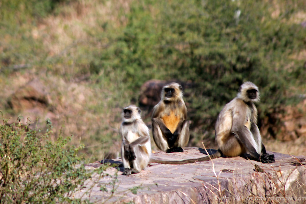 Asia, India, Ranthambore. Gray Langur monkeys of Ranthambore.
