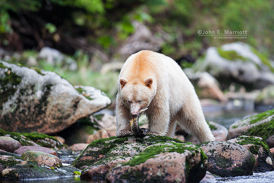 Kermode bear in the Great Bear Rainforest, BC, Canada