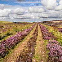 Farm Track across Heather Moorland near Wooler Northumberland National Park England