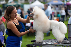 © Licensed to London News Pictures. 20/08/2017. Llanelwedd, Powys, UK. Christian, a miniature poodle gets groomed before judging on the last day of The Welsh Kennel Club Dog Show, held at the Royal Welsh Showground, Llanelwedd in Powys, Wales, UK. Photo credit: Graham M. Lawrence/LNP