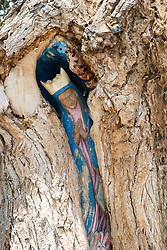 """Cottonwood Madonna Virgin of The tree in Old Town, Albuquerque, NM<br /> In 1970, a parishioner of the 300-year-old San Felipe de Neri, Albuquerque's oldest Catholic parish, carved the image of the Virgin de Guadalupe into a cottonwood behind the chuch. Some call it the """"Virgin of the Tree."""" It is one of the hidden treasures of Old Town. Because the carving sometimes appears to change, people wondered if it was haunted. But it simply reflects the condition of the tree."""