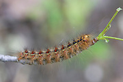 Gypsy Moth caterpillar; Lymantria dispar; Stone Harbor, Cape May Co., NJ