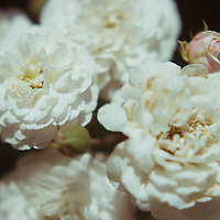 close up shot of white wild roses in horizontal format