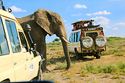 Tanzania, Tourist safari jeeps wait, as a large elephant crosses the road,