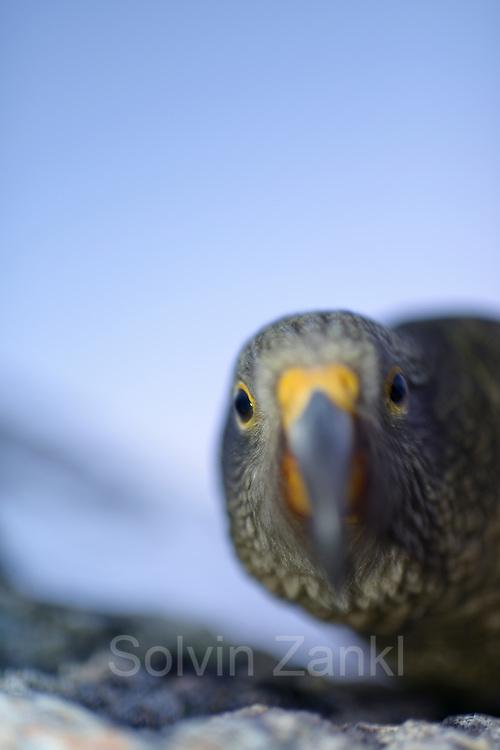 Kea (Nestor notabilis) Arthur's Pass, New Zealand | Kea oder Bergpapagei (Nestor notabilis); Der Kea ist sehr neugierig und kommt dem Ojektiv aus Interesse sehr nah. Er ist ein endemischer Papagei Neuseelands. Arthur's Pass, Neuseeländische Alpen, Neuseeland.