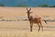 Lelwel hartebeest (Alcelaphus buselaphus lelwel) from Sweetwaters, Kenya.