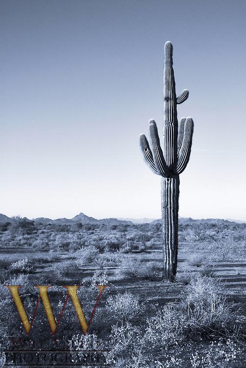 Tall Saguaro Cactus in Arizona desert