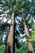 Towering pine trees viewed from below.
