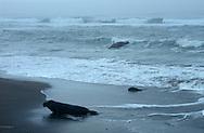 USA, Vereinigte Staaten Von Amerika: Nördlicher See-Elefant (Mirounga angustirostris), See-Elefantenbulle geht an Land, erreicht die Kalifornische Küste, in Frühjahrssturm und Nebel, Strand direkt neben California State Route 1, San Simeon, Kalifornien | USA, United States Of America: Northern Elephant Seal (Mirounga angustirostris), bull elephant seal arriving California coast, crawling at beach during spring storm and fog, beach directly next to Cabrillo Highway 1, San Simeon, California |