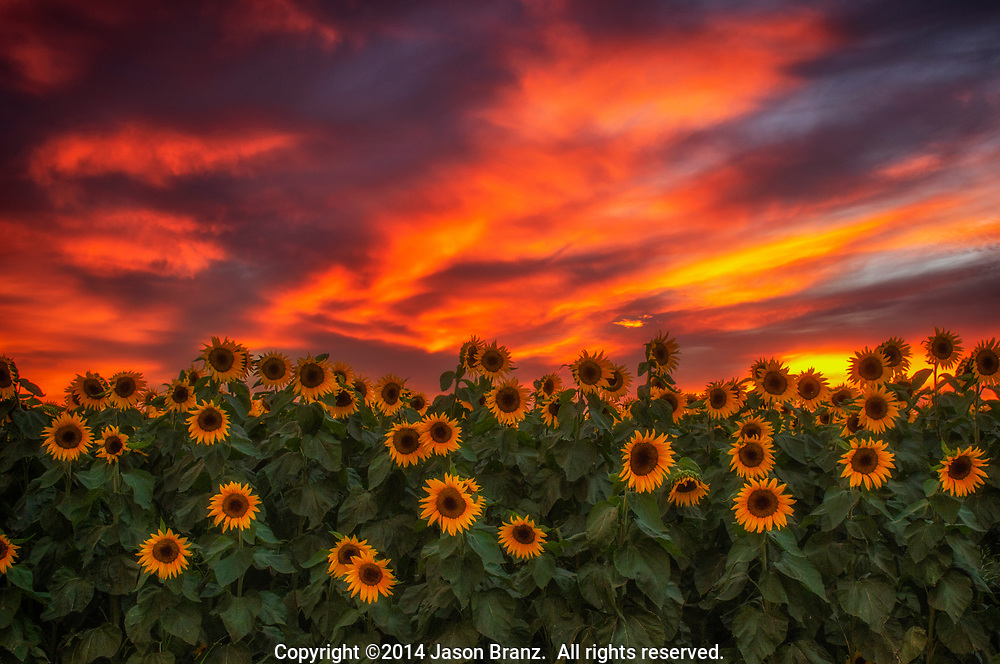 Summer sunflowers beneath red sunset clouds, Yolo County, California.