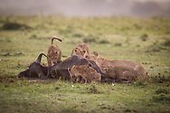 A lion's pride with his cubs feeding the buffalo at Masai Mara Reserve with soft light of the african sunrise<br /> photo credit by: &copy;Claudio Zamagni